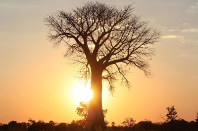 2 Oct: Stephan Woodborne: Climate change killing Africa's Baobab trees